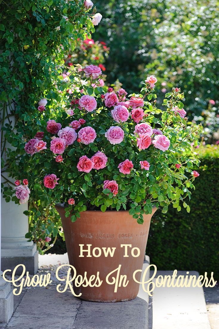 How to take care of roses - Rose Growing Care How To Articles Grow Roses In Containers Grow Roses In Containers Heirloom Roses