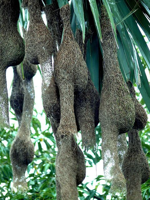 Weaver bird nest. The unconventional shape of these nests is what makes them truly interesting. it also makes me think about what shape to make my nest.