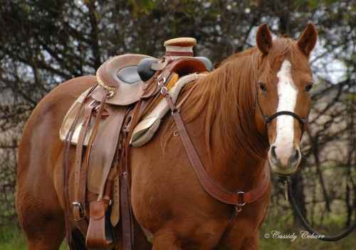 12 Year Old Sorrel Quarter Horse Ranch Gelding for Sale - For more information click on the image or see ad # 54338 on www.RanchWorldAds.com