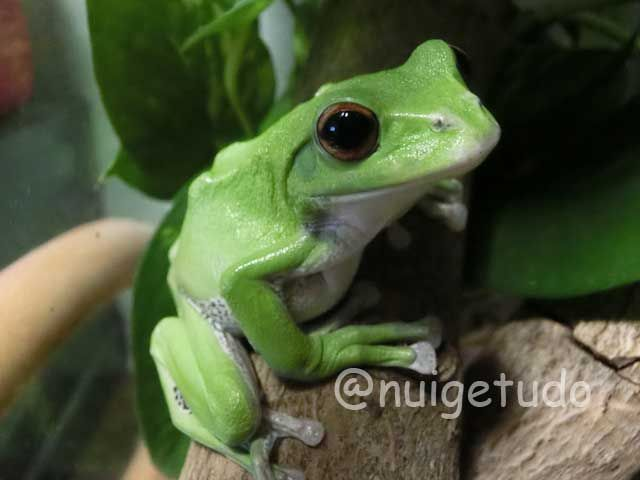 モリアオガエル(Rhacophorus arboreus ) 冬眠明けてやっと調子の出てきたメスの個体です! http://blog.goo.ne.jp/nuigetudo-satoyama/e/02e7327bb85351df446c4b0562364270