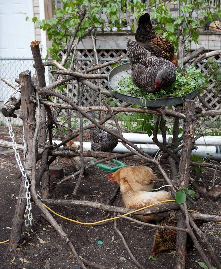 Chicken jungle gym!                                                                                                                                                                                 More