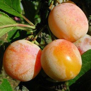 Prunier 'Mirabelle de Nancy' - Prunus domestica jaune