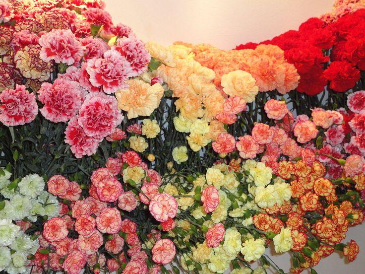 Junto con las rosas, los claveles están entre las flores más comercializadas en todo el mundo. La gran variedad de colores, su dulce aroma y sus pétalos rizados