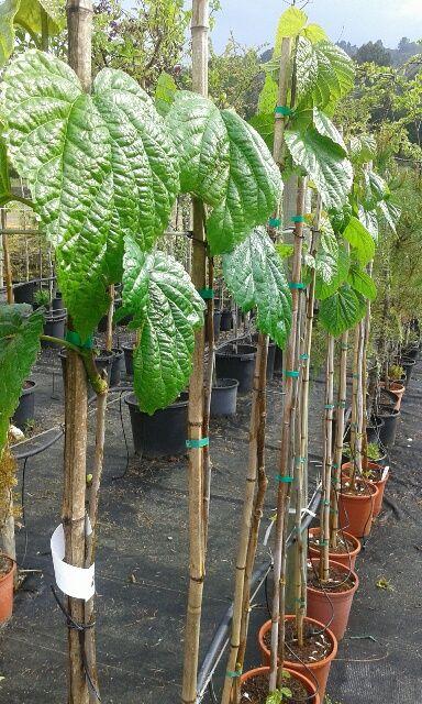 17 mejores ideas sobre rboles de sombra en pinterest for Arboles sombra jardin
