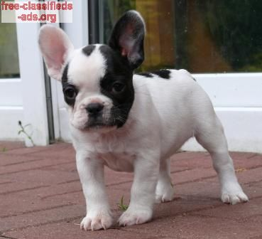 free-classifieds-ads.org - French bulldog for adoption
