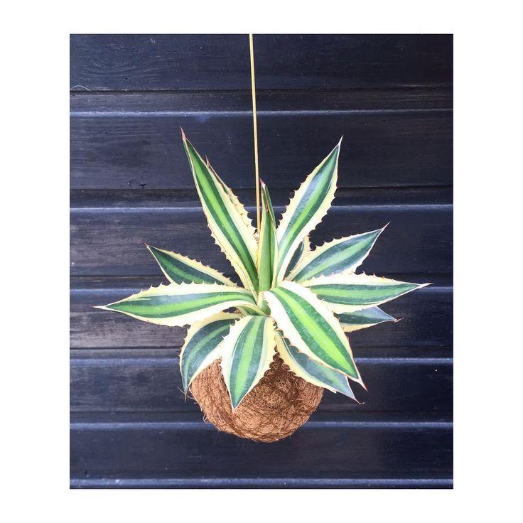 """140 Synes godt om, 6 kommentarer – Planteplaneter (@planteplaneter) på Instagram: """"Little beauty #planteplaneter #succulents #summer #greenliving #danishdesign #kajaskyttestudio"""""""
