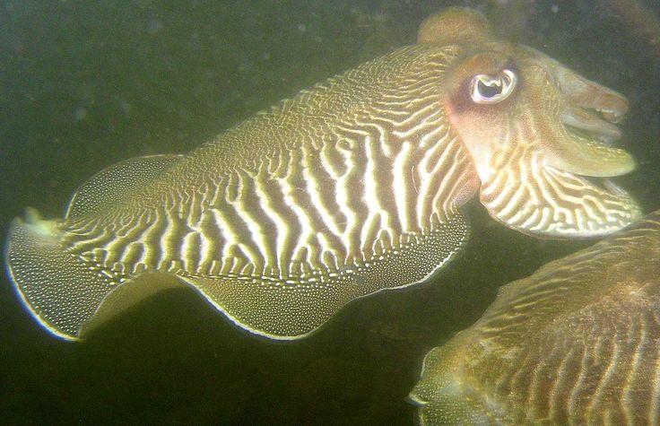 Sepia of zeekat in de Oosterschelde