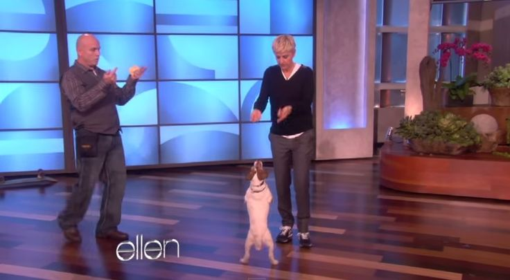 """[Video] Uggie Does Tricks For Ellen - (click for full article) http://www.ilovedogsandcats.com/video-uggie-does-tricks-for-ellen/ -  This is a cute video. Uggie the star from the Golden Globe-winning film """"The Artist"""" is doing a few tricks for Ellen on her show. I am sure you have a pet that can do different tricks. But can they do these tricks? How about riding a skate board and moving it across the ..."""