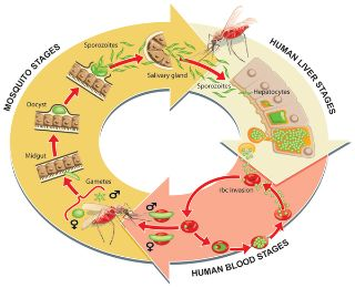PLOS Pathogens: The Next Opportunity in Anti-Malaria Drug Discovery: The Liver Stage