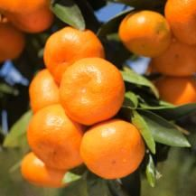 How to Grow Oranges, Mandarins & Grapefruit | Learn how to grow lovely citrus in your own backyard