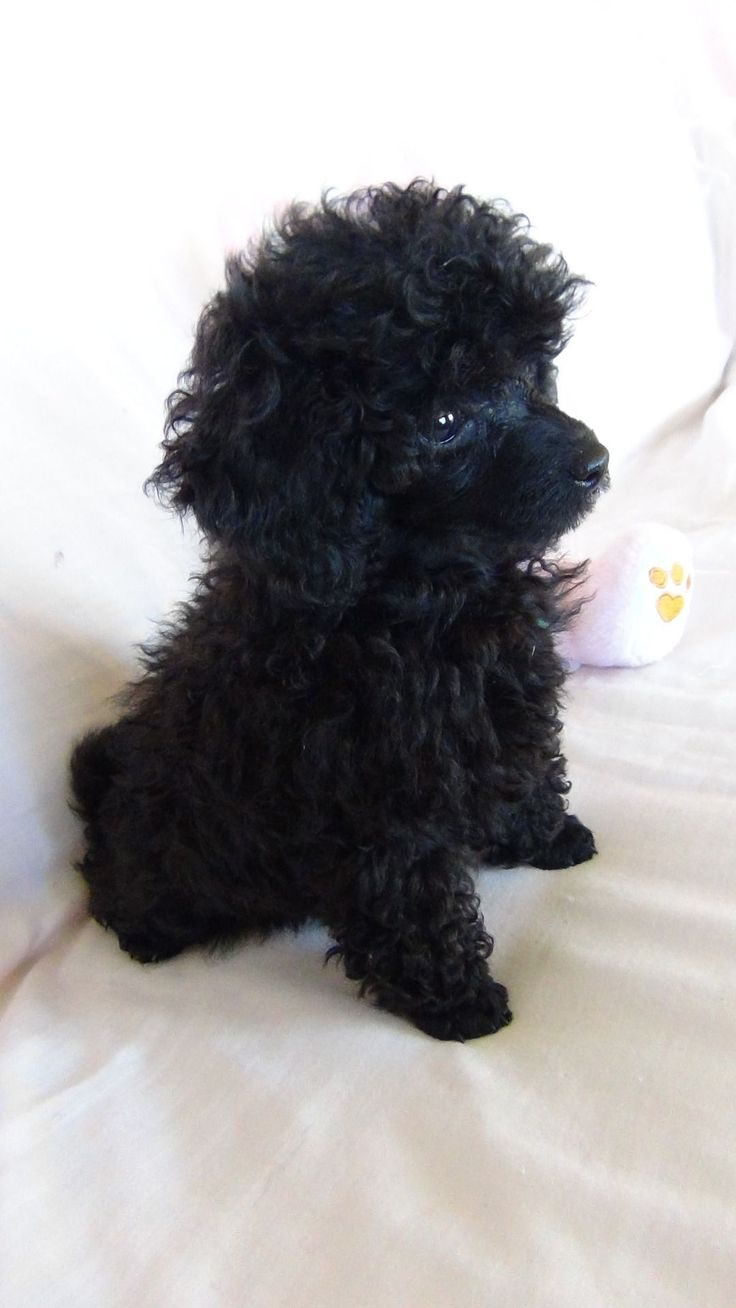 The Poodle Patch — Poodle puppy love… Let's call her Ella? #Poodle #poodlepuppy
