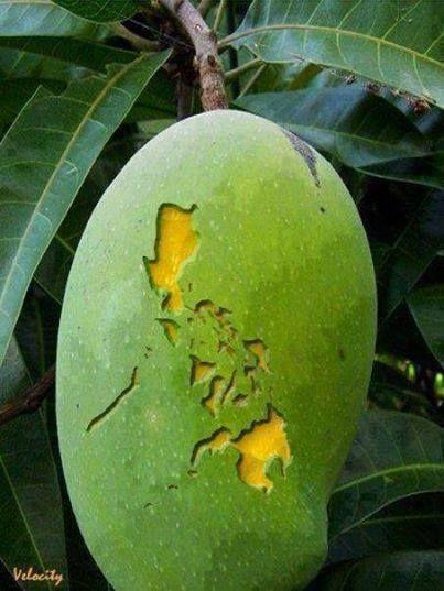 The Sweetest Mango in the World. The Philippine Mango ...