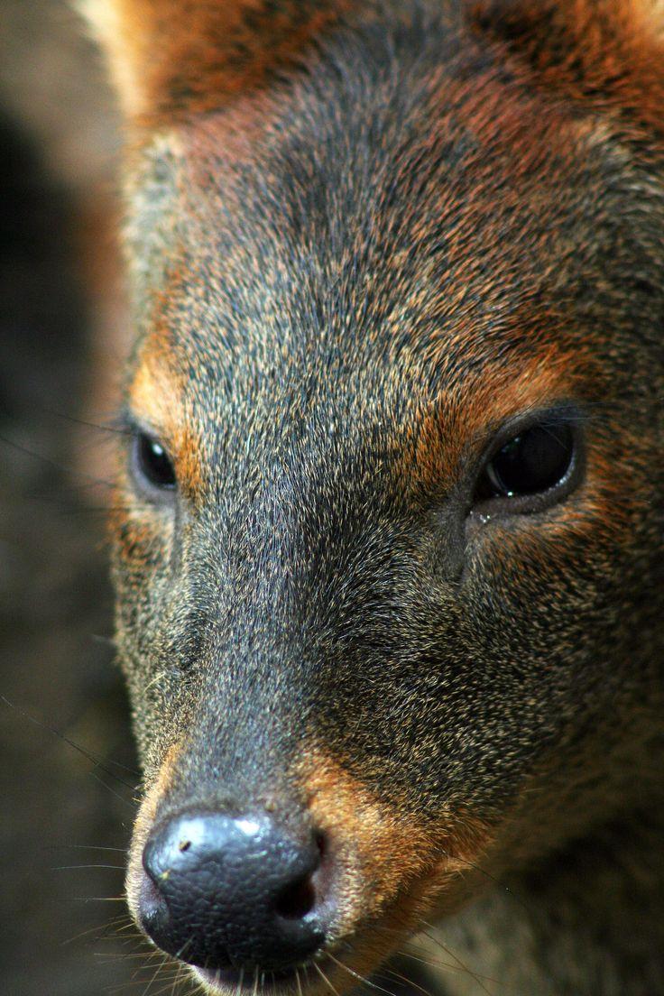 Chile, Pudú, Pudu puda, Chilesilvestre. Fotografía: Daniel Gomez-Lobo Fehling