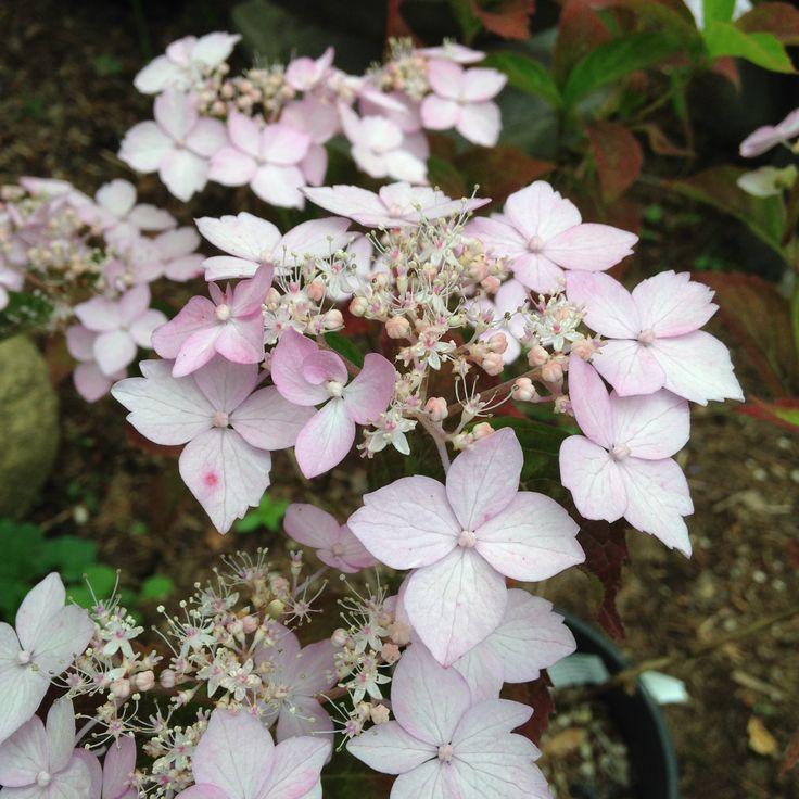 Les 28 meilleures images du tableau hortensia hydrangea sur pinterest hortensias arbustes - Quelle terre pour hortensia ...