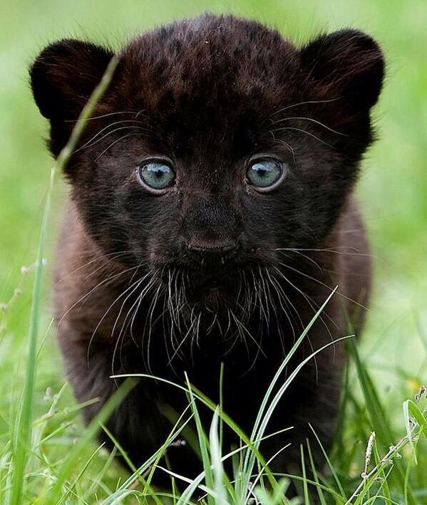 Cute baby panther fascinating pictures panther cub eric rivera this is ninja outside walk - Bebe du jaguar ...