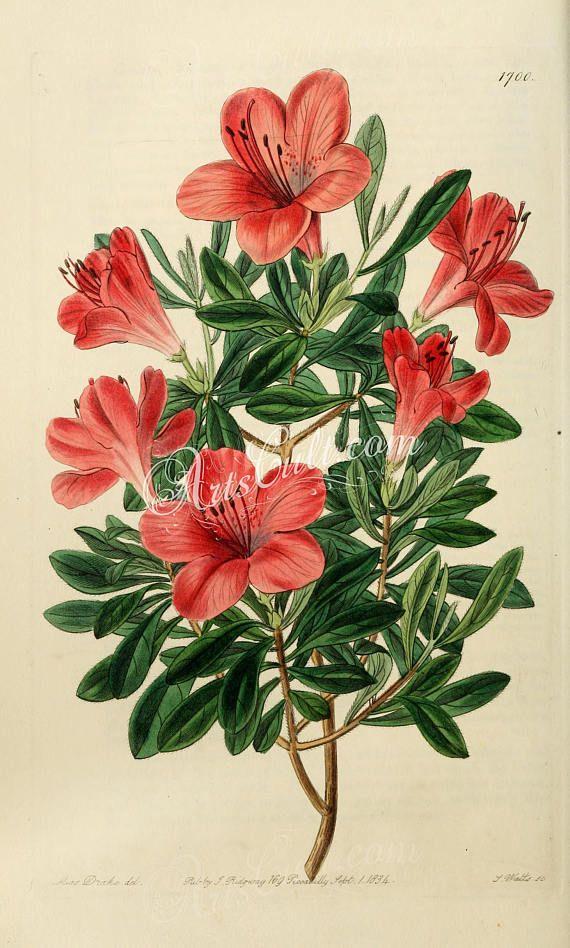 Flowers 21273 Azalea Indica Lateritia Brick Red Chinese Etsy Flower Drawing Vintage Botanical Prints Botanical Drawings