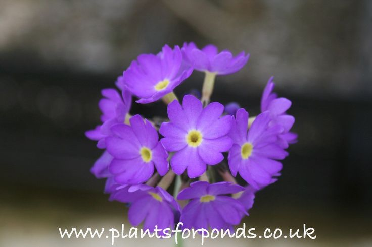 Drumstick Primula (Primula denticulata)  A moisture loving plant perfect for a ground level pond border or bog garden.  This primulas flowerheads form a bright purple ball that will really bring some much needed colour early in Spring.  Each purple flower has a yellow centre.