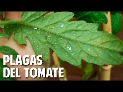 Plagas mas comunes del Cultivo de Tomate - Common Tomato Pests (english captions) - YouTube