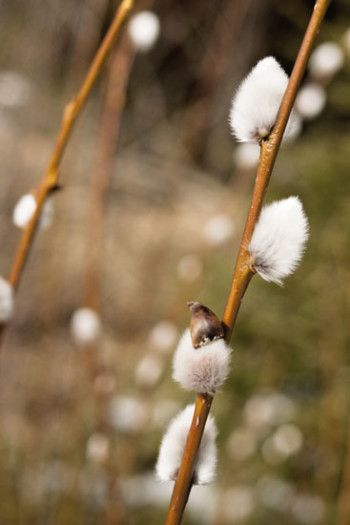 3988-easter_willow-catkins_flickr_cc-by-nc-nd-2_0_villemisaki_550px-jpg