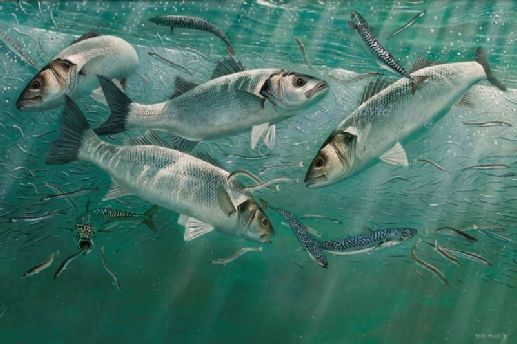 Feeding Frenzy, Bass, Makerel and Sand eels by David Miller Limited Edition print A3: £60.00 A2: £75.00