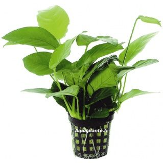 ANUBIAS NANA 6,12€  Plante d'aquarium robuste, l'Anubias peut vivre sur différents supports tels que pierre, racine, etc...  Les anubias résistent à la plupart des poissons phytophages grâce à ses feuilles rigides et coriaces.