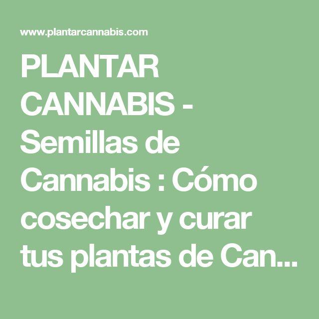 PLANTAR CANNABIS - Semillas de Cannabis : Cómo cosechar y curar tus plantas de Cannabis