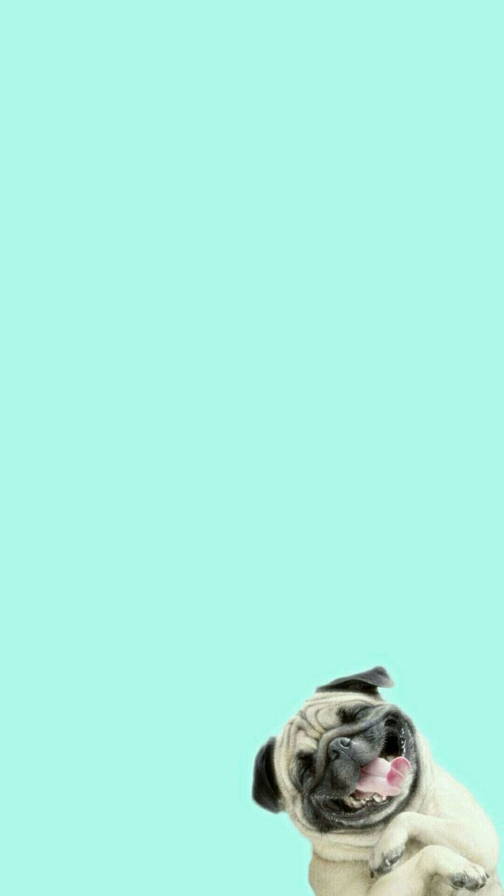 Funny Pug Laughing Hard At You iPhone 6+ HD Wallpaper