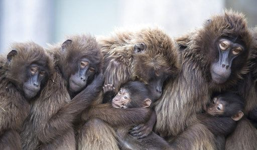 Several female Gelada baboons cuddle with their young in order to keep warm at the Wilhelma zoo in Stuttgart, Germany. http://apne.ws/BThzuSP