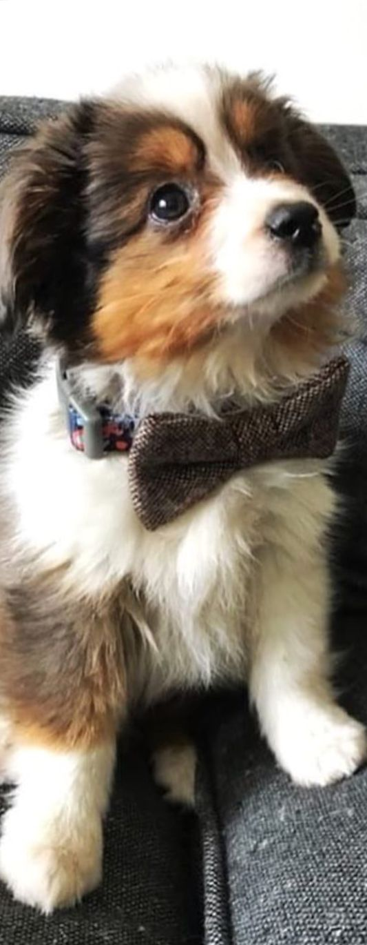 Love the bow tie-makes him almost distinguished, if he wasn't so darned adorable!