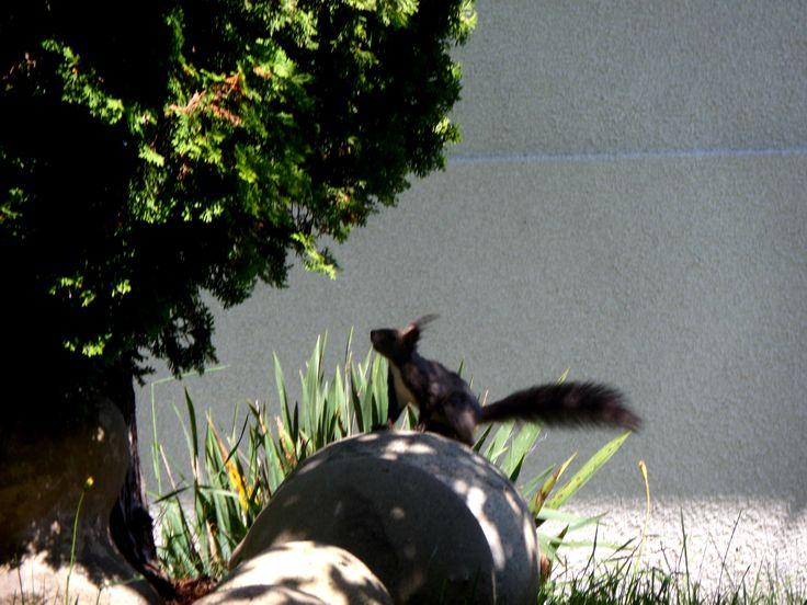 Mókus. Squirrel.