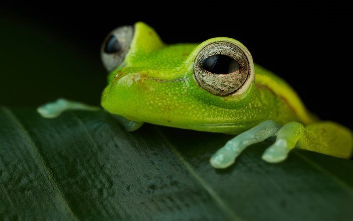Scarica sfondi verde rospo, Polka-dot treefrog, Hypsiboas punctata, anfibi