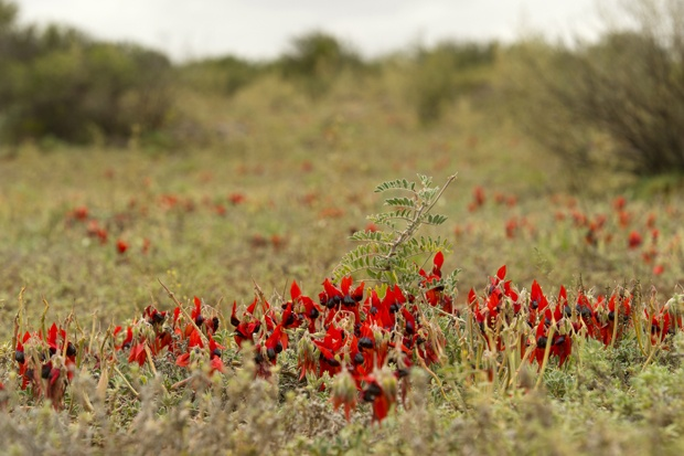 Sturt Desert Pea, Broken Hill, Australia