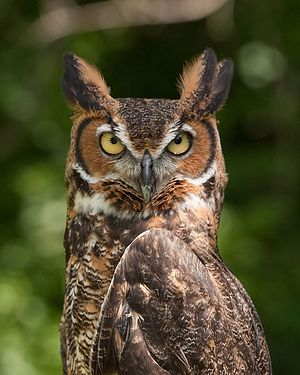 What Kind Of Bird Are YOU? I got Great Horned Owl! (Quiz)  You are wise beyond your years, thoughtful, steady, generous, and a rock for all that know you. You're always the calm and collected one when things get chaotic, and many come to your for advice.