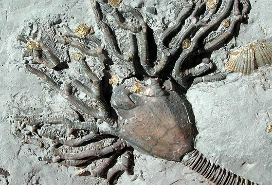 1000+ images about Devonian Fossils on Pinterest