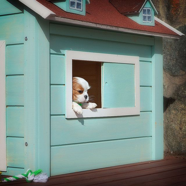 Chester looks out the window of his RitzPetz dog house