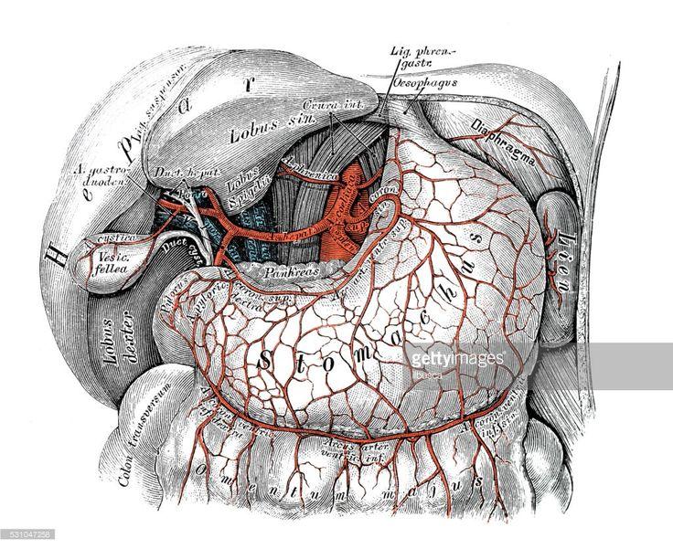 Human anatomy scientific illustrations with latin/italian labels: Celiac artery