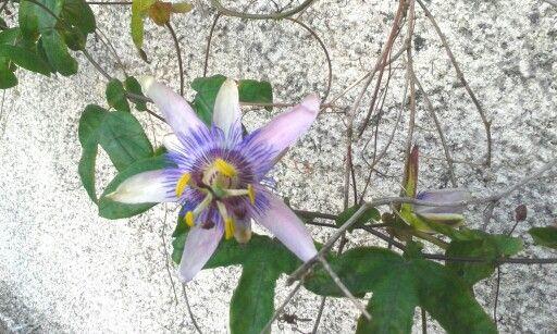 Flores de la pasión en noviembre