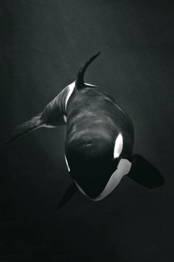 Orca / Killer whale | Black & White | Pinterest