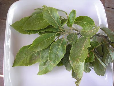 hint of licorice imparted by the true leaves. Look for avocado leaves in Hispanic markets or order them online if you are not lucky enough to have fresh ones available.  http://flavorsofthesun.blogspot.com/2008/02/avocado-leaves-secret-mexican.html