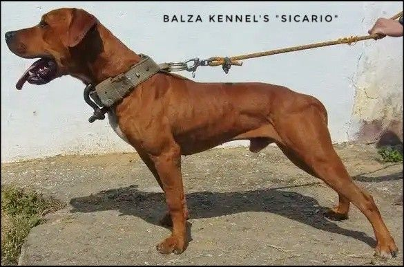 BALZA KENNELS SICARIO R I P  - American Pitbull terrier , Apbt