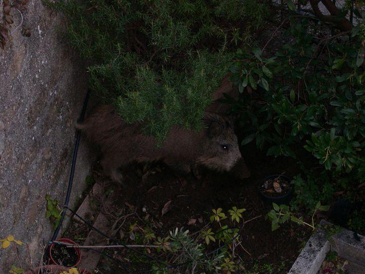 Junior Wild Boar ...looking for Hospitality in our terrace/garden....believe or not!?! Locanda la Pieve January 2012
