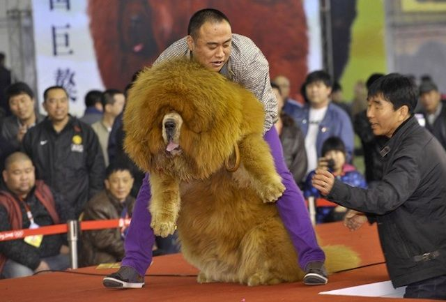 Worlds Most Expensive Dog: Tibetan Mastiff | http://www.ealuxe.com/worlds-most-expensive-dog-tibetan-mastiff/