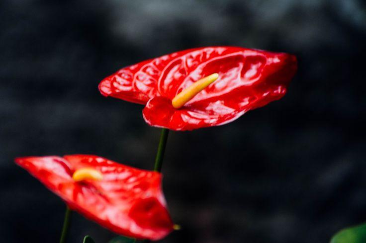 anthurium - grandmother´s garden