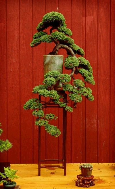 A cascading juniper bonsai tree will add a tremendous amount of character to your home decor. See more bonsai trees at http://www.nurserytreewholesalers.com/