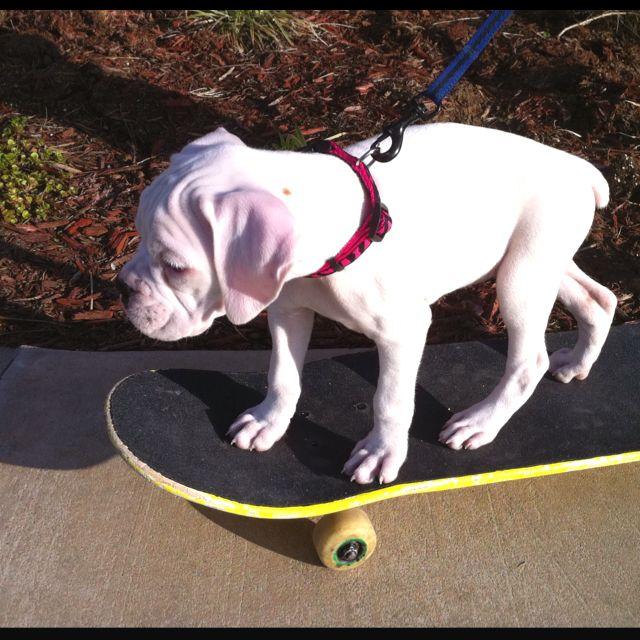 Skateboarding white boxer puppy Allie!