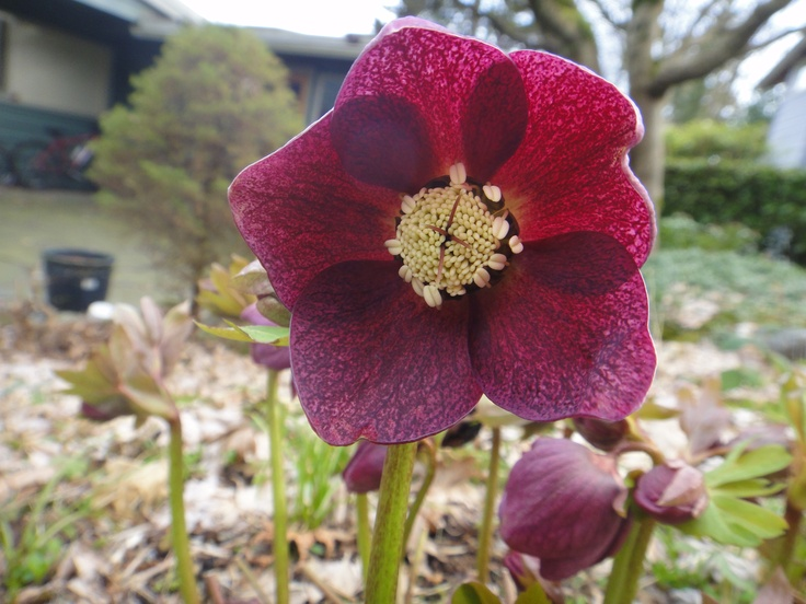 My photo of the common but extraordinary Hellebore; usually facing downwards - clip and float the blooms in a bowl for some stunning indoor decor