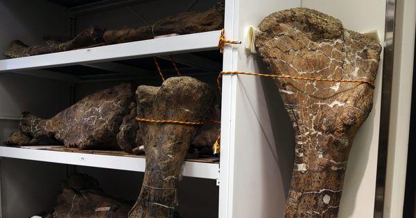 Un dinosaure herbivore géant découvert en Patagonie