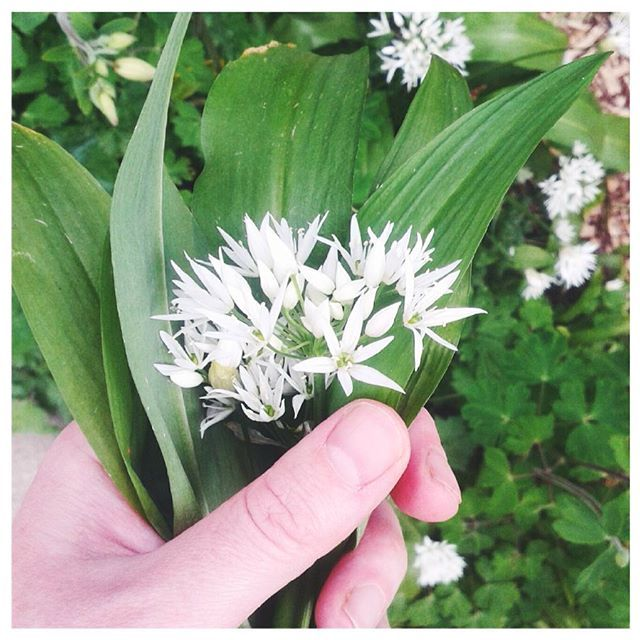 Picking some wild garlic to add to the quiche for tonight's dinner. Adds such great flavour!  #wildgarlic #foraging #garden #wildfood #growyourown #freshfood