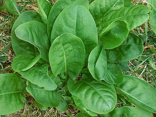Acedera y espinaca: cultivo asociado, plantación y mantenimiento