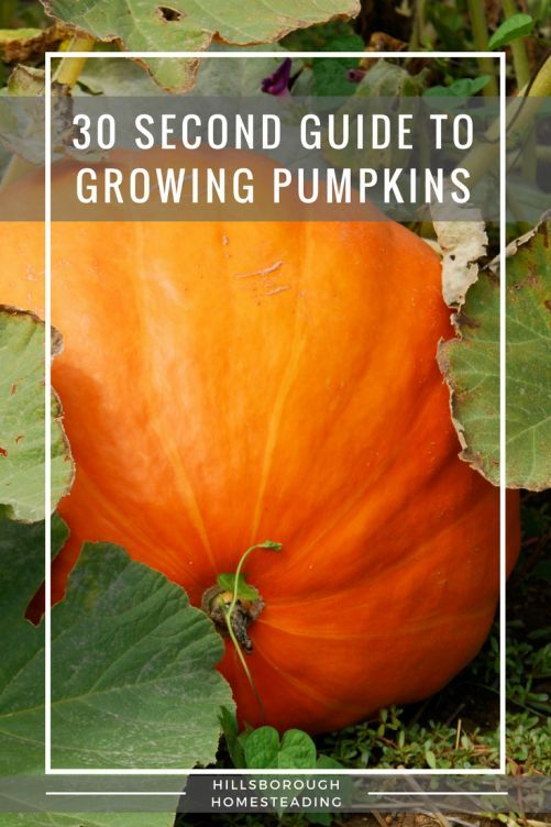 Quick and dirty 30 second guide to growing pumpkins. Soil pH, hours of sunlight, amount of water, etc. Everything you need to know for your garden and growing pumpkins.